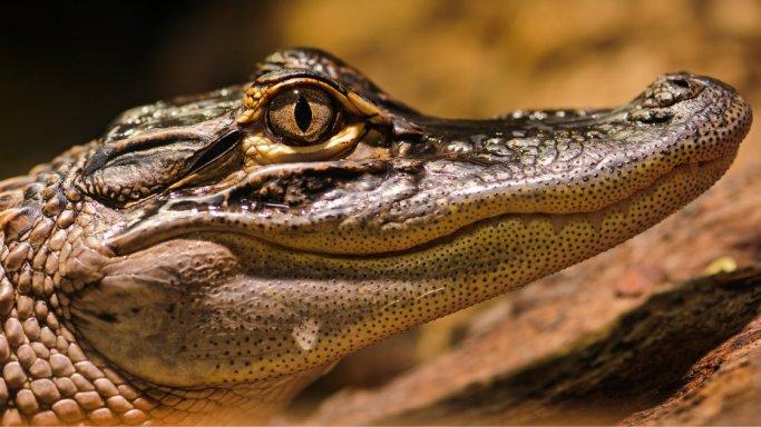 Krokodile-2