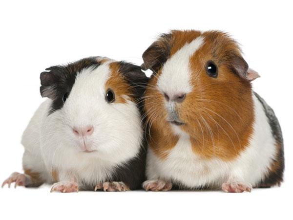 von meerschweinchen und ratten von katzen und m usen